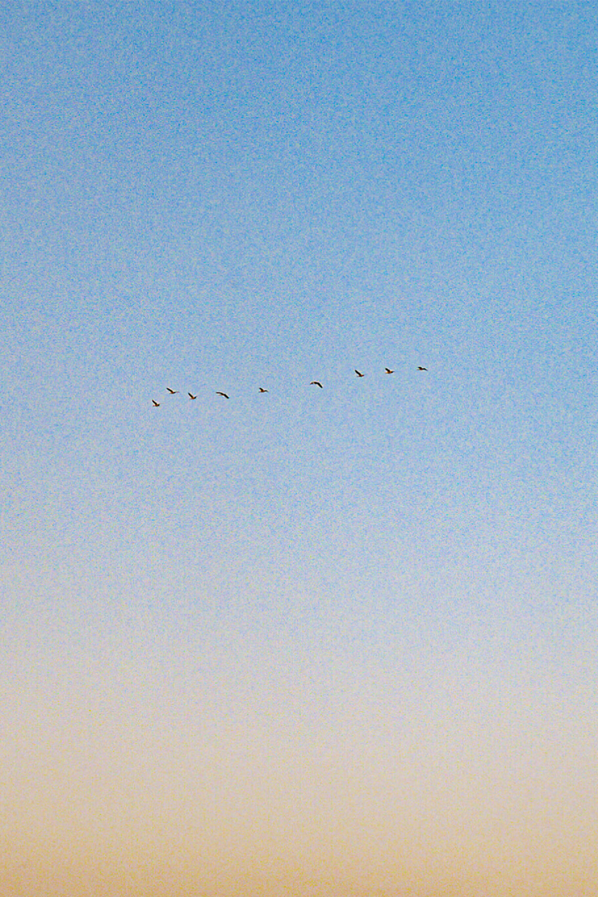 """A vertically oriented photograph of the sky at dusk with a migrating """"V"""" of birds moving from right to left."""